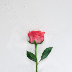 Single beautiful red rose on white background. minimalism. View from above.