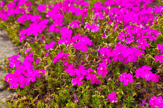 Blooming magenta Moss phlox , creeping phlox or moss pink (Phlox subulata) is flowering plant for use as colorful spring carpet groundcover in a park and garden ,which call in japanese is shibazakura.