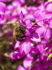 A Bee Collecting Pollen on Pink Flower Bed