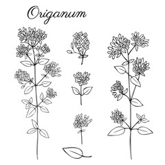 Blossoming Oregano flowers vector ink sketch, hand drawn healing herb Origanum vulgare, Marjoram isolated on white, botanical illustration spice, design for natural cosmetic, kitchen menu, herbal tea