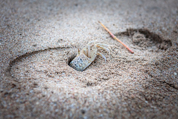 Sand Crab on the Beach Closeup. Step from the sneaker on the background