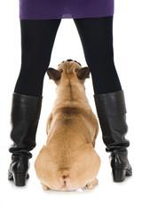 Französische Bulldogge sitzt zwischen Beinen isoliert auf weißem Grund