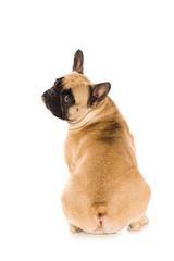 Französische Bulldogge dreht sich um