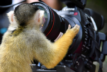 A black-capped squirrel monkey looks into a broadcast crews camera and lens at London Zoo in London, Britain