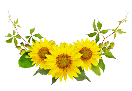 Sunflowers, green berries and leaves of wild grape in a summer arramgement
