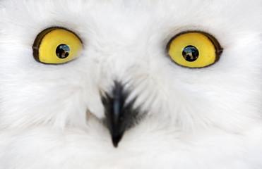 Fotoväggar - polar owl yellow eyes