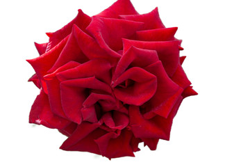 Red Rose flowers on a white background