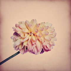Dahlia on textured background, pink