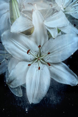 Lily, white, close-up