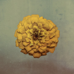 Zinnia flower, yellow on textured background