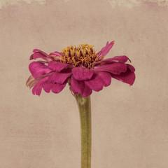 Zinnia flower, pink on textured background