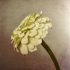 Zinnia flower, white on textured background
