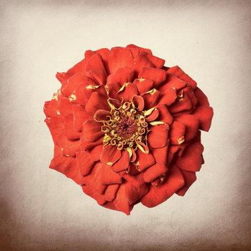 Zinnia flower, red on textured background