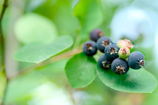 Closeup of  Ripe amelanchier berries on bush   also called juneb