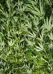 Destroyed illegal marijuana plantation. Lying cannabis plants.