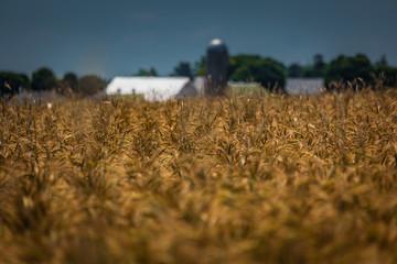 Wheat on Farm Ready for Harvest