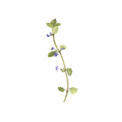 watercolor drawing flower of ground-ivy