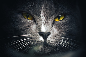 Portrait of Russian blue Cat on Isolated Black Background. the cat looks up, squinting a little, sniffing. Close up picture with cat's eyes