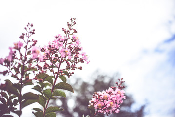 Crepe Myrtle blooms closeup background. Lagerstroemia flowers. Photo shot in Northwest Florida. With Copy Space