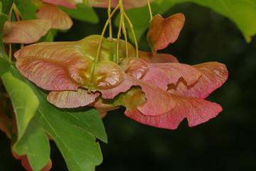 Ahornsamen, Acer platanoides