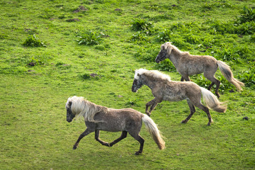 Three grey pony horses running wild