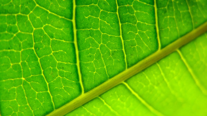 Fototapete - detail of a green leaves texture - background