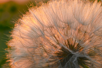 Dandelion closeup against sun during the dawn. Macro of dandelion seeds over sunset background. Spring nature in twilight