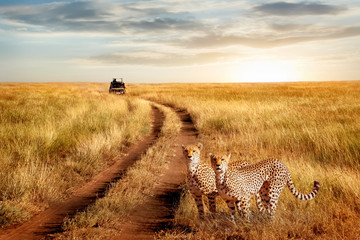 Wall Mural - Group of cheetah in the Serengeti National Park on a sunset background. Wildlife natural image.  African safari.