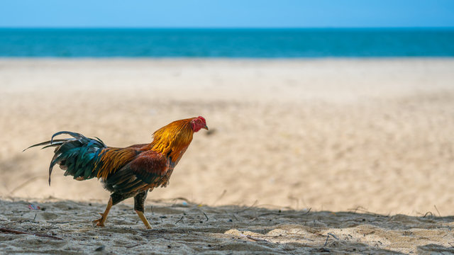 Chicken On Beach