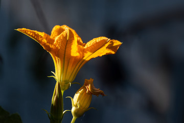 squash blossoms glowing in the morning sun in garden