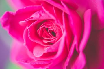 Close up beautiful pink rose flower background,wedding background. Soft blur focus, macro mode.