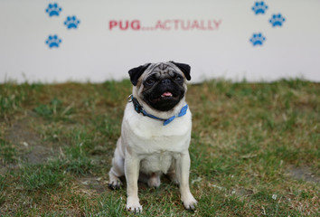 """A Pug dog called Harley, and star of the film """"Patrick"""" poses for photographs at the film's premiere in London"""
