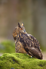 The Eurasian eagle-owl (Bubo bubo) , portrait in the forest. Eagle-owl sitting in a forest on a rock.