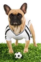 Bulldogge mit Fußballtrikot isoliert auf weißem Grund