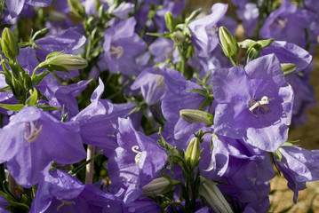 plant of platycodon grandiflorus or Bell flower, large purple flowers, shape of a star, summer flowering, yellow pistil, family of the Campanulaceae, gardening, sunbeams, background, Italy