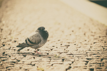 One pigeon in town