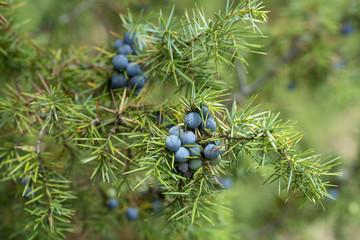 Medicinal plant - Juniperus communis