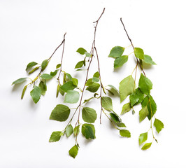 birch branches with leaves on background isolated