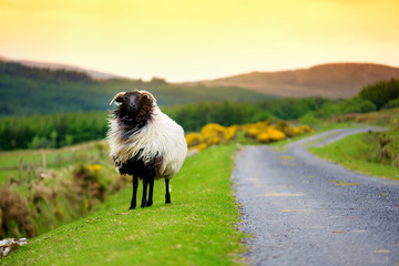 Foto auf Gartenposter Gelb Schwefelsäure Sheep marked with colorful dye grazing in green pastures of Ireland