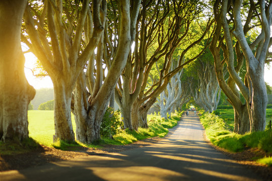 The Dark Hedges, an avenue of beech trees along Bregagh Road in County Antrim, Nothern Ireland