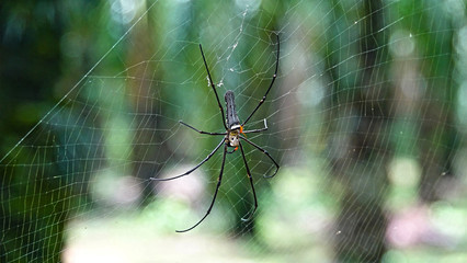 CLOSE UP MACRO One of the biggest spider species sitting in web in green jungle