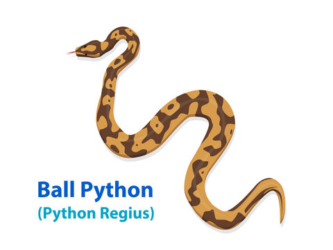 Realistic Ball Python snake in vector art top view