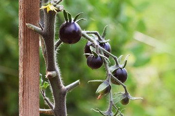 Black tomatoes on a branch in the garden. Indigo rose tomato