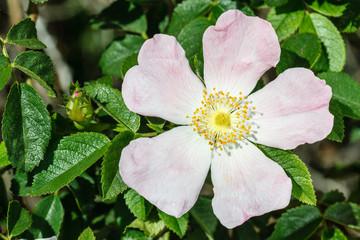 Flor, capullo y hojas de Escaramujo, Rosal silvestre. Rosa canina.