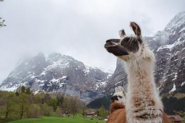 Alpaca looking up for views