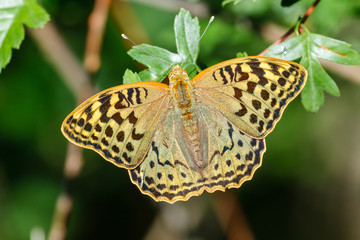Mariposa. Argynnis pandora.