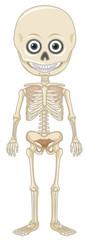 Human Skeleton on White Backgroung