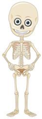 A Human Skeleton on White Background