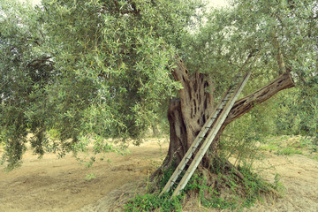 Olive trees in Italy, harvesting time. Olive trees garden, mediterranean olive field ready for...