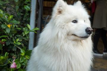A close-up of a white pet dog
